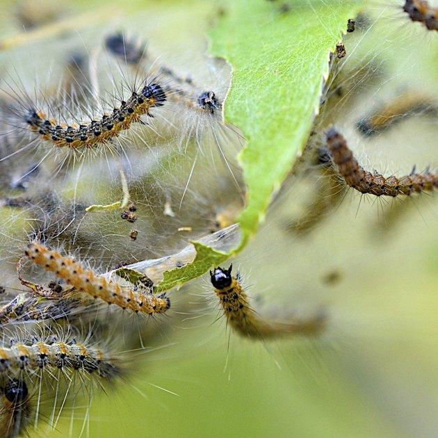 Webworms in Fall