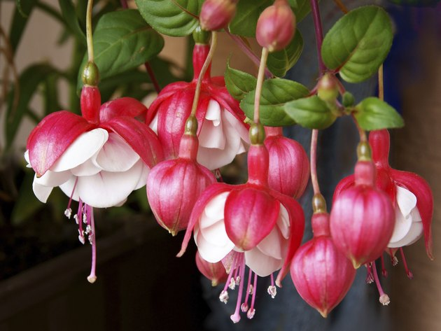fuchsia white and red flowers close up