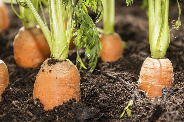 Wet Carrots in the dirt