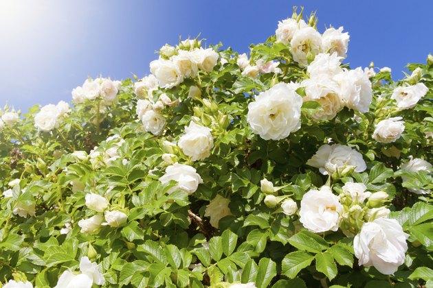 Bush of white Roses