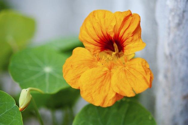 nasturtium flower close up