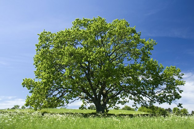 Old Oak tree in green meadow