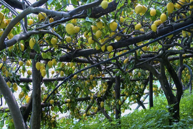 Lemon grove in Ravello, Italy