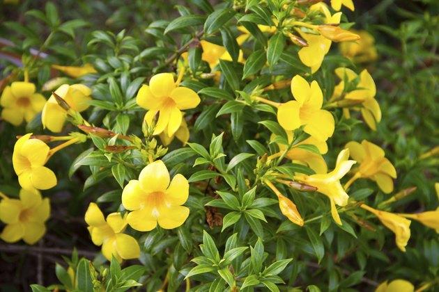 Allamanda, beautiful yellow flower