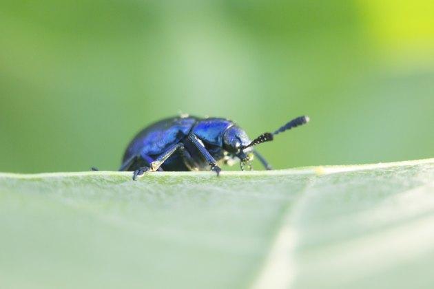 dung Beetle violet blue