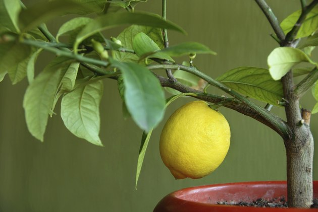 Lemon on lemon-tree