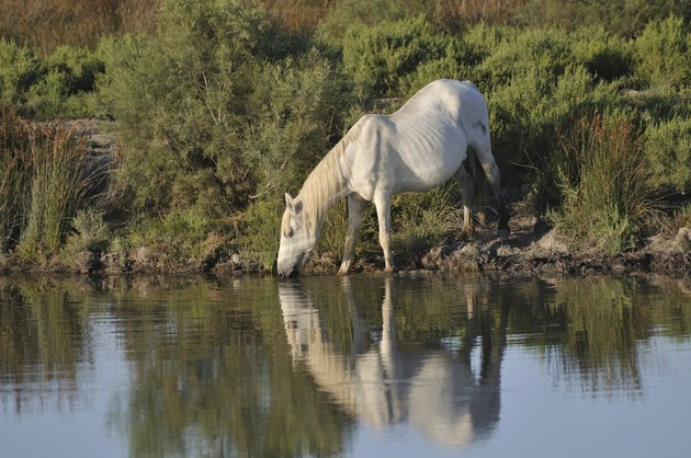 Camargue horse drinking at a pond
