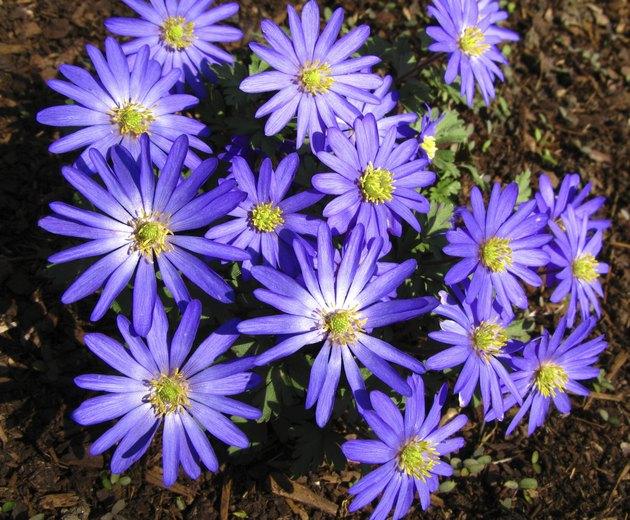 Cineraria Flowers