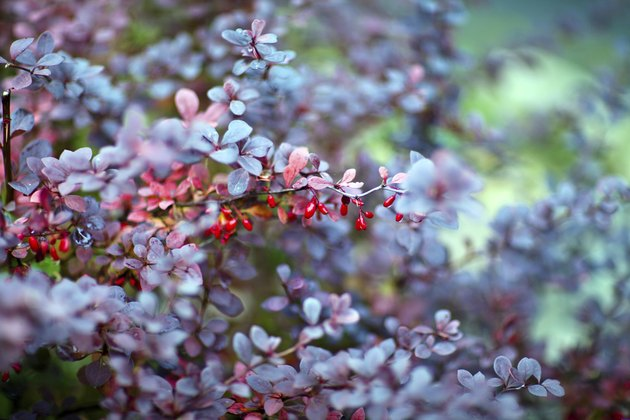 Barberry plant, close up