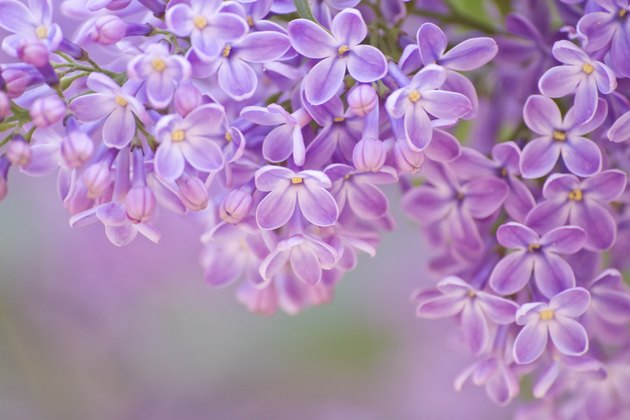 lilac in detail