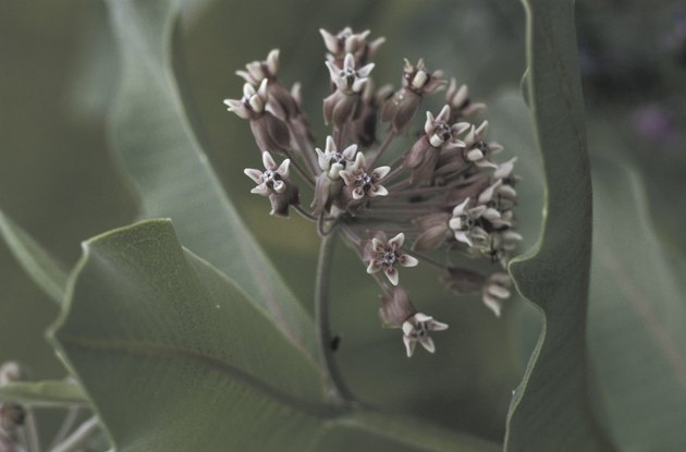 Close-up of milkweed flowering