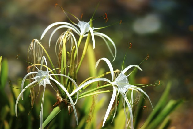 White spider lily flower -Hymenocallis littoralis, bokeh background