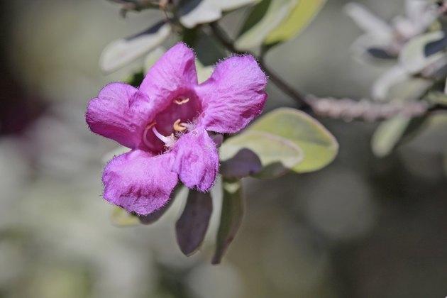 Purple Sage Bloom