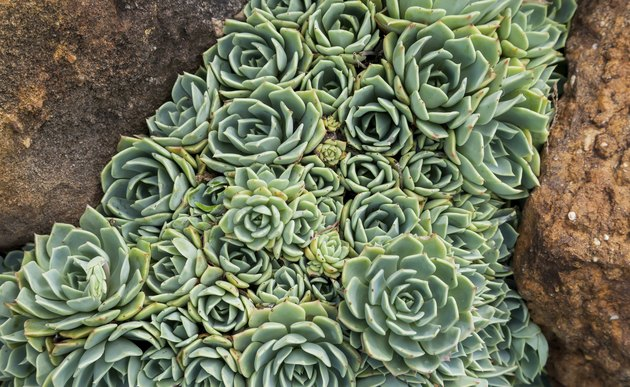 Hens and Chicks (Echeveria elegans) between two rocks