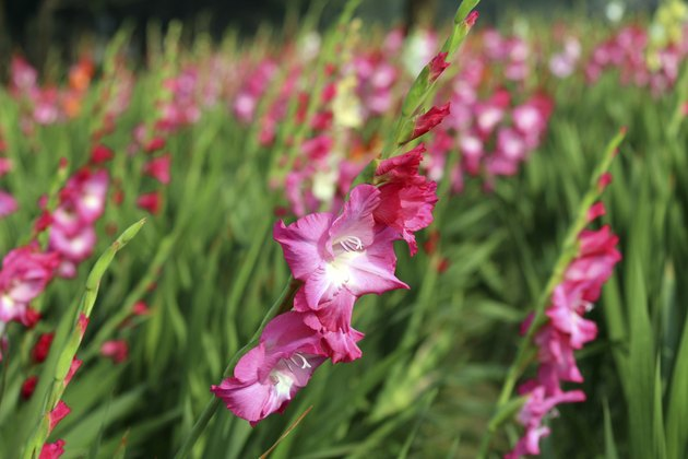 Colorful Gladiolas Garden