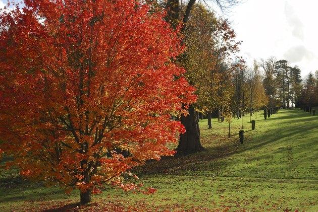 Norway Maple tree in autumn