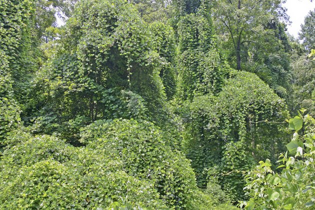 Ubiquitious Kudzu