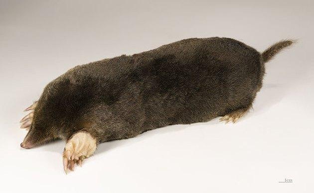 A typical mole.