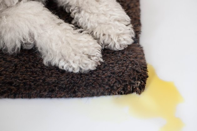 How To Get Dried Dog Urine Out Of Carpet Hunker