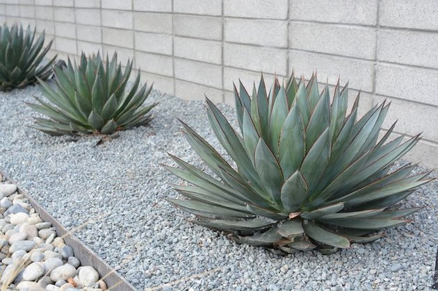 desert landscaping plants fox tail agave