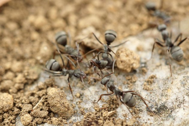 Ants swarming on the salty earth.