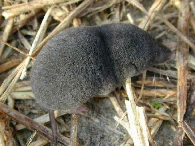 A shrew in the wild.