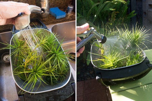 Drenching air plants.