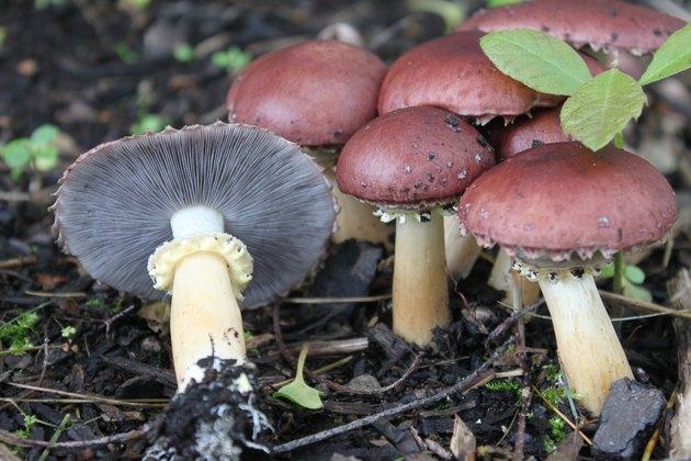 Wine cap mushrooms.