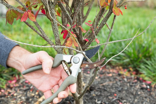 When To Prune A Burning Bush Shrub Hunker