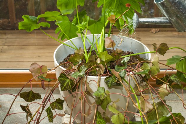 How To Care For Indoor Ivy Hunker