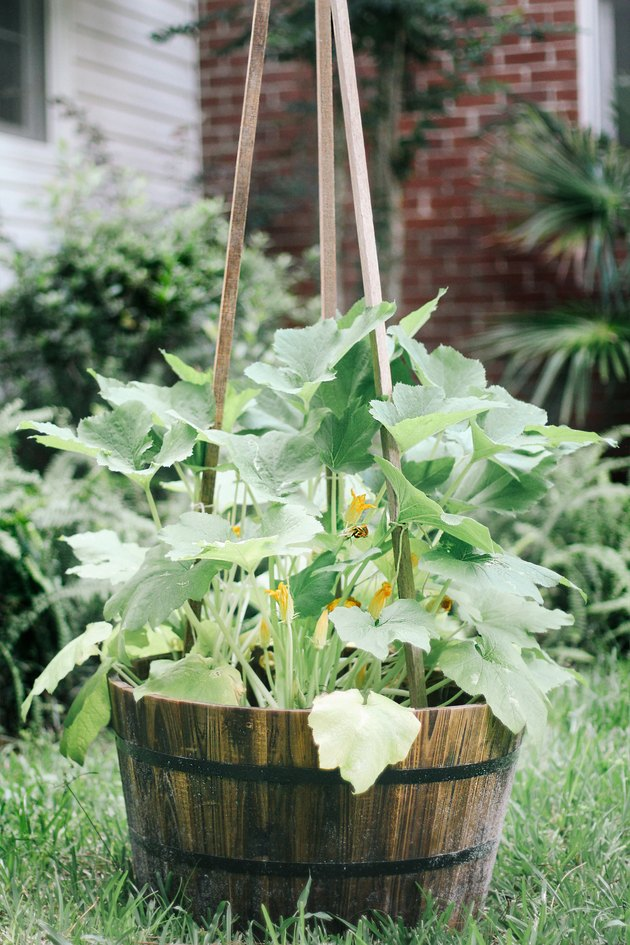 Vertical zucchini plant tied to wood stakes