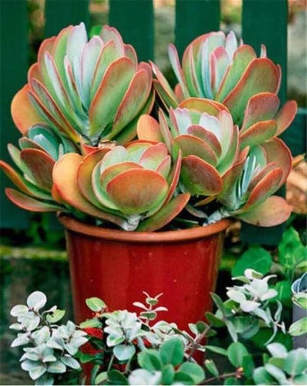 desert plants for landscaping paddle plant red pancake