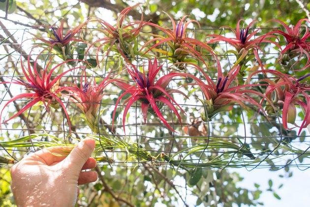 Powietrzne rośliny na zewnątrz.