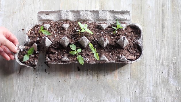 Cutting seedling cups apart on egg carton