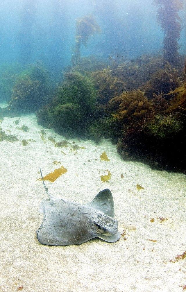 Sea Ray and Kelp