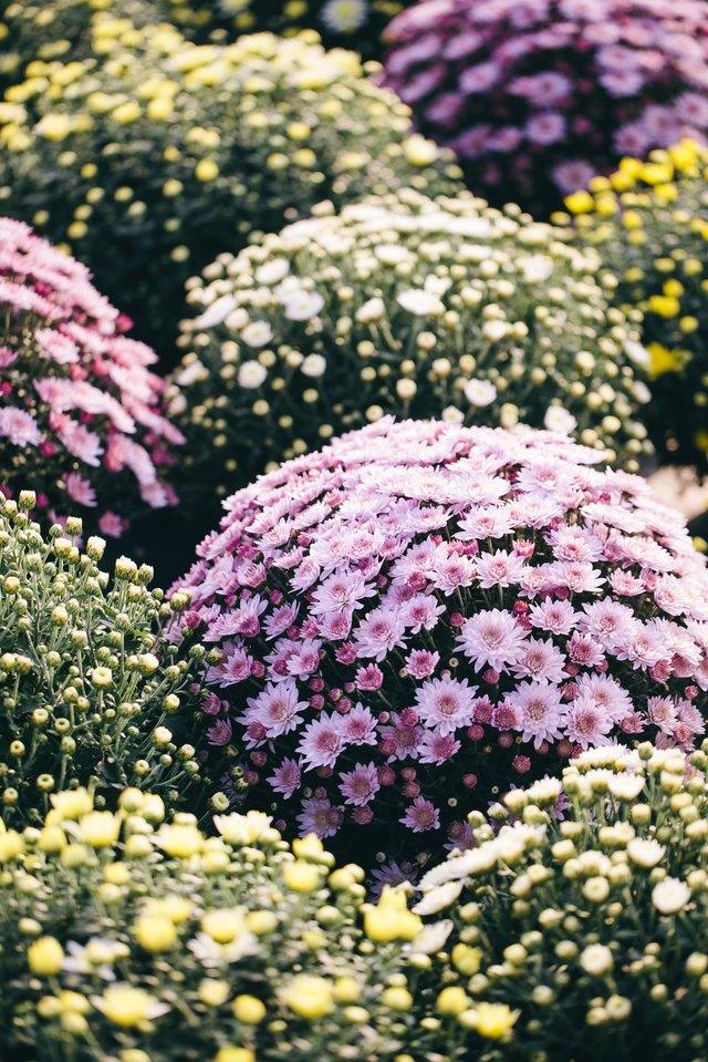 Flower Cultivation - Chrysanthemums Land
