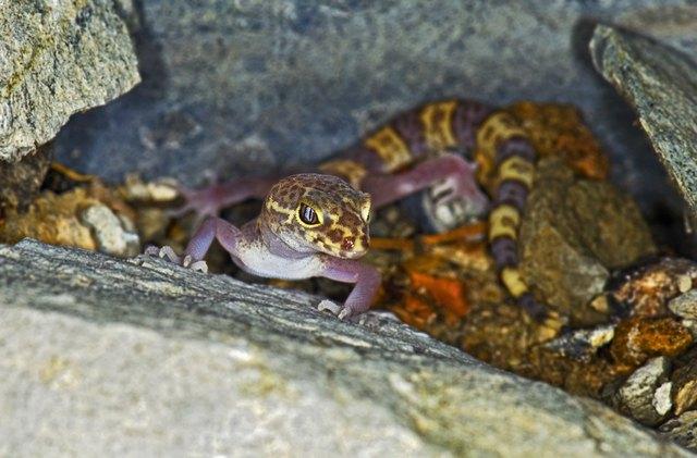 A Texas banded gecko