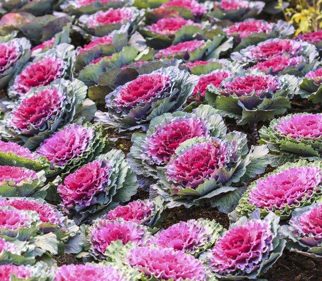 Decorative purple cabbage or kale