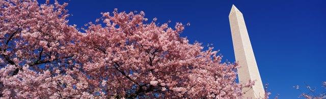 Washington Monument & spring cherry blossoms