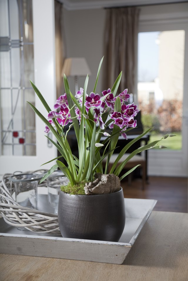 Mitonia orchid in interior