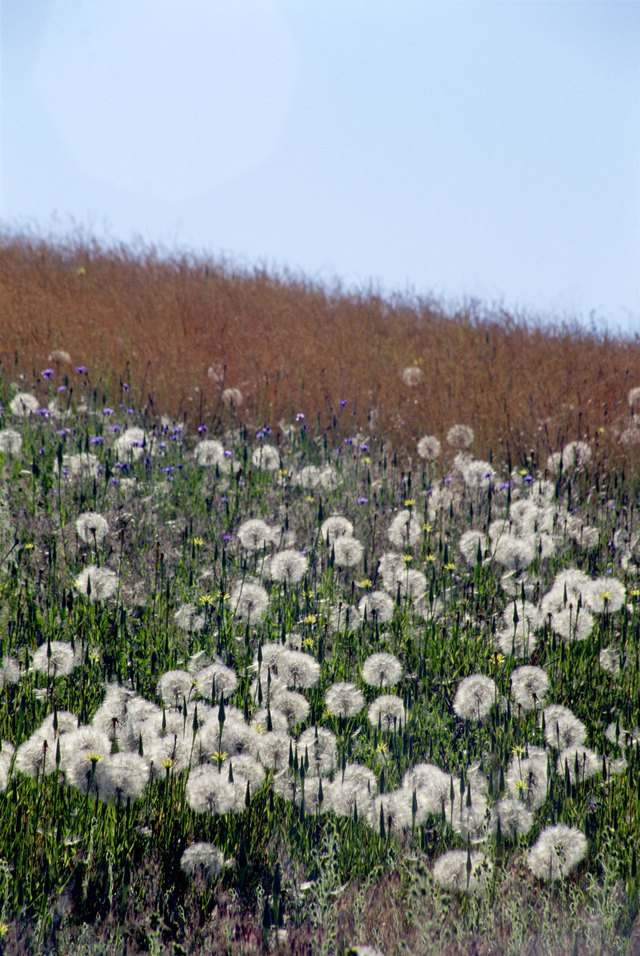 Field of oyster plant and grass