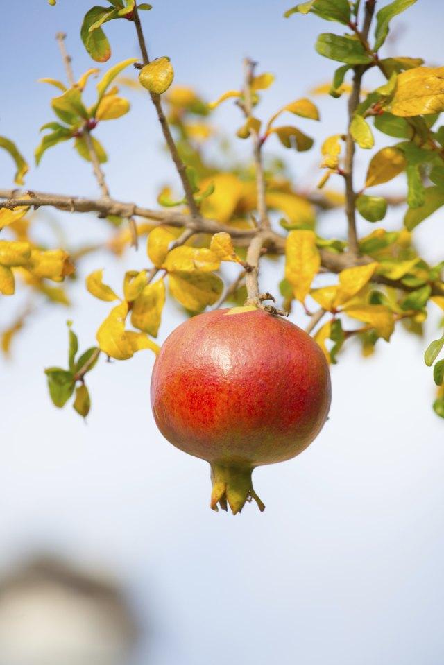 Fruit on Tree Branch