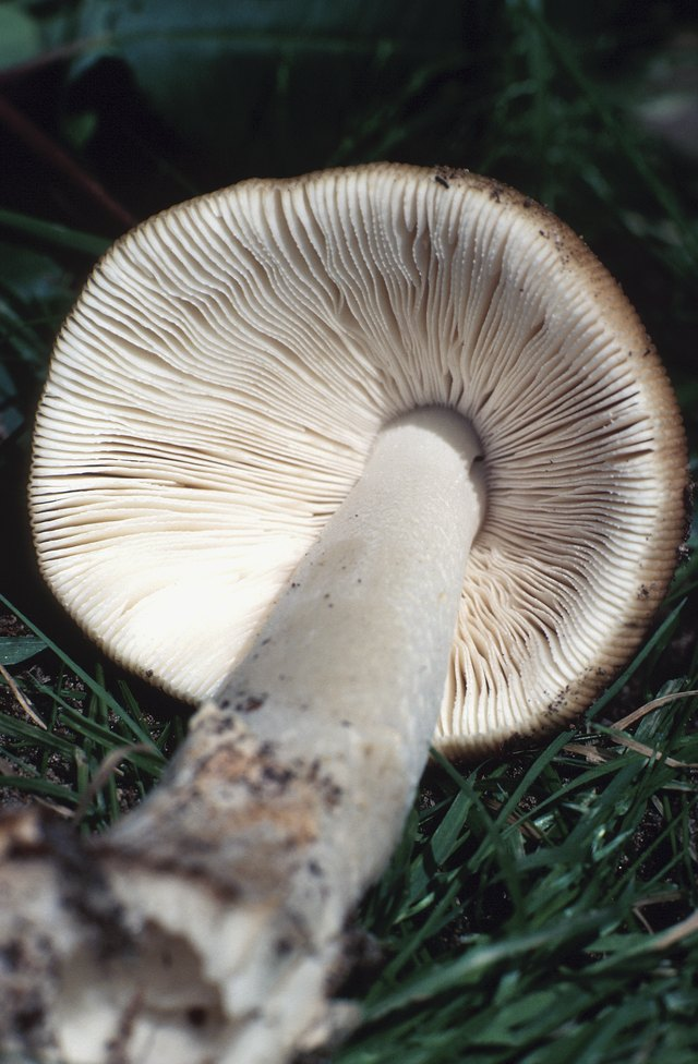 Close-up of gilled mushroom