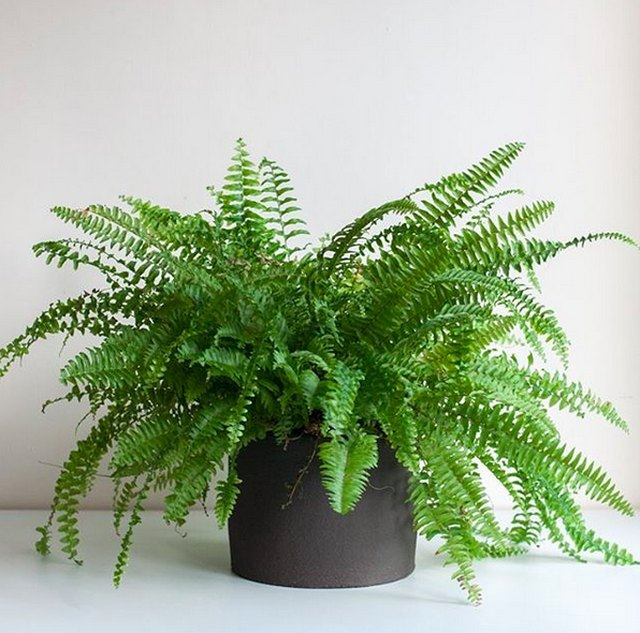Boston fern (Nephrolepsis exaltata)