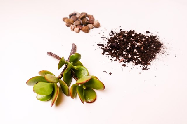 Succulent cuttings, rocks, soil.
