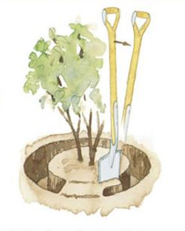 How to dig a trench when transplanting a bush