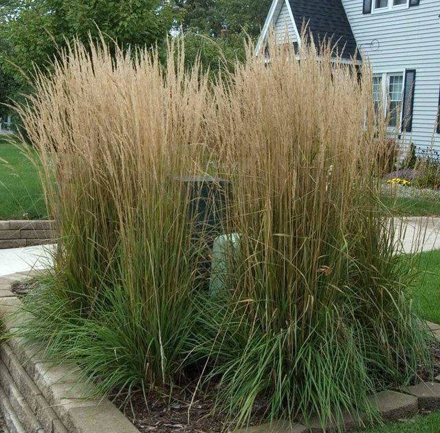 Feather reed grass.