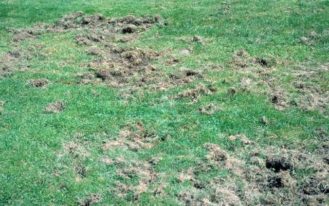 Animal damage caused by the presence of grubs