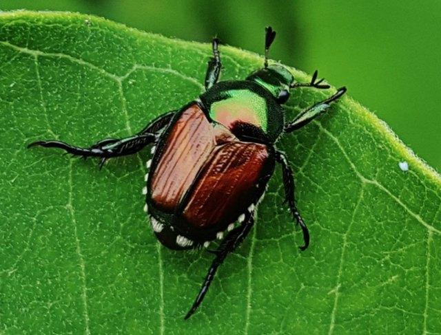 Japanese beetle.