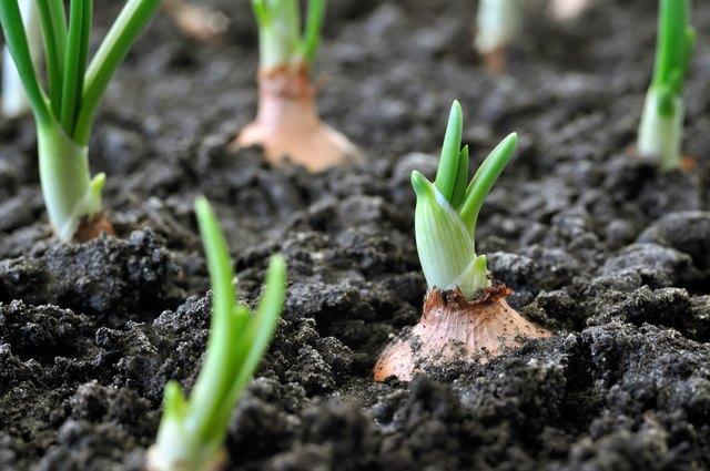 How to Grow Onions | Hunker